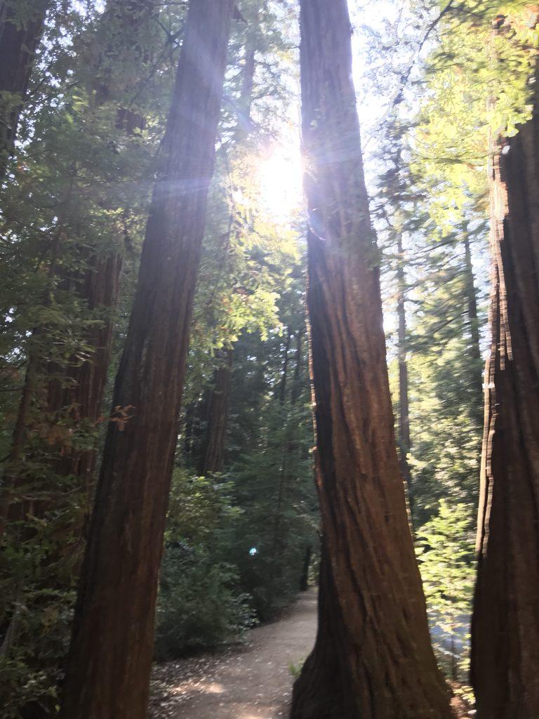 Sun between Redwood trees Big Basin Park
