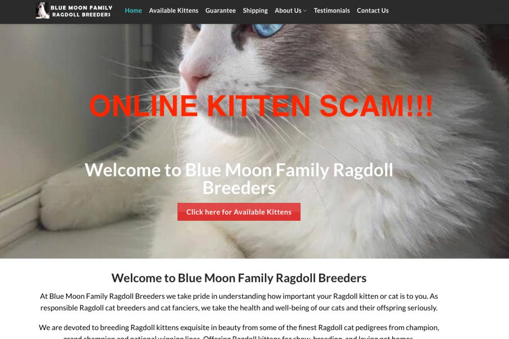 bluemoonfamilyragdollcattery.com